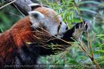 Roter Panda 3
