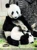 Panda Romantik