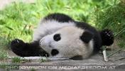 Pandababy noch faul