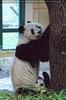 Kleiner Panda beschützt
