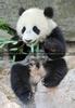 Pandababy - der Bambus strengt sooo an