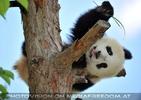 Pandababy - geht wieder schlafen
