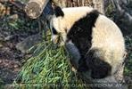 Fu hu hortet Bambus