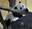 Fu Bao will spielen