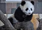 Kleiner großer Panda 03