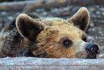 Braunbären 4