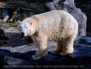 Eisbär 4