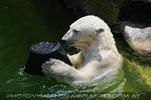 Eisbären 05