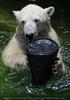 Eisbären 08
