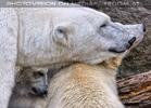 Eisbären 16