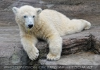 Eisbären 17