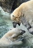 Eisbären Spiel