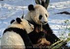 Große Panda Mahlzeit 01
