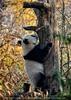 Großer Pandababy Ausflug