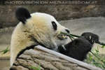 Gro�er kleiner Panda