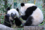 Große Pandas 08