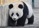 Große Pandas 3