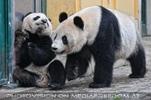 Große Pandas 5