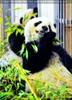 Große Pandas