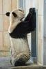 Großer Panda 03