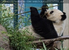 Großer Panda 3