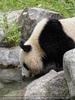 Großer Panda trinkt