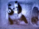 Kleiner großer Panda 2
