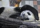 Kleiner großer Panda