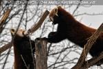 Rote Pandas 03