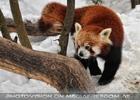Rote Pandas 04