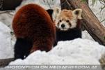 Rote Pandas 05