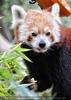 Roter Panda 05