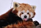 Roter Panda 4