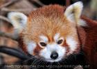 Roter Panda 7