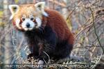 Roter Panda Blick