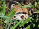 Roter Panda im Dickicht