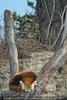 Roter Panda schläft