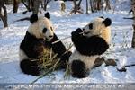 Große Panda Mahlzeit 19