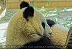 Welcome Panda Fu Long 18