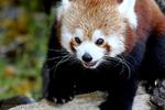 Roter Pandabär