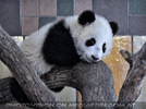 Kleiner großer Panda 02