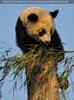 Fu Hu auf dem Baumstamm
