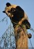 Mit dem Bambus Fu Hu ganz oben