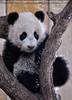 Kleiner großer Panda 09