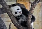 Kleiner großer Panda 14