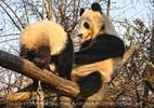Fu Hu kommt zur Mama Yang Yang