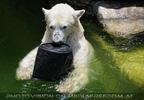 Eisbären 06