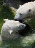 Eisbären 07