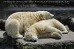 Eisbären 1