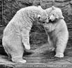 Eisbären 12